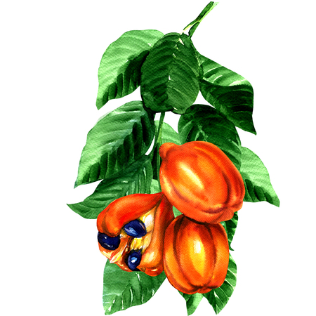 water colour painting of tropical blighia sapida fruit, ackee tree,