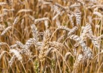 close-up of golden wheat ripe and ready for harvesting