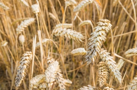 ripe wheat ready for harvesting